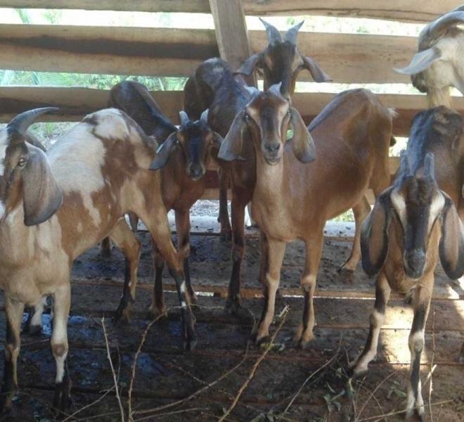 farmprojekt-salvatorianer-brasilien-ziegen